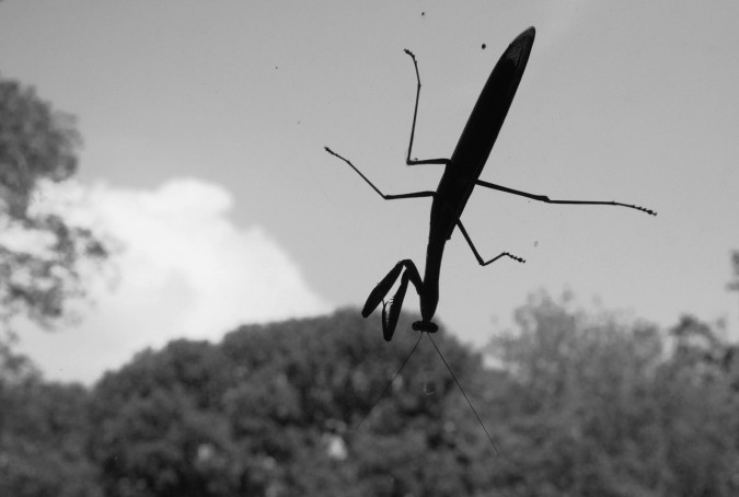 praying mantis (1)
