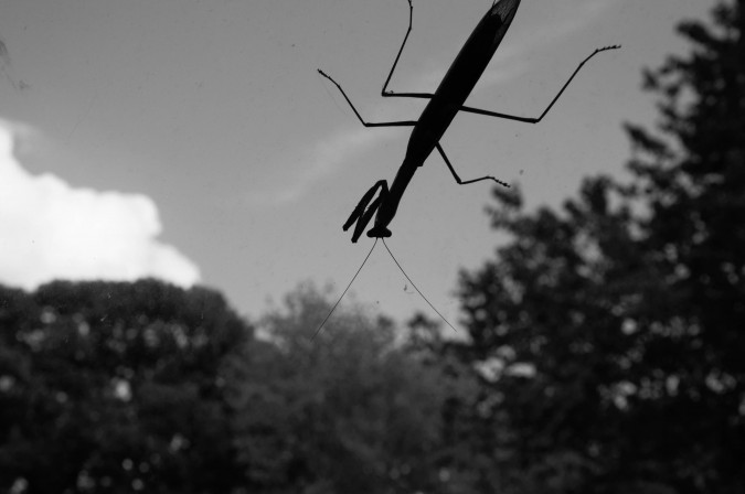 praying mantis (3)