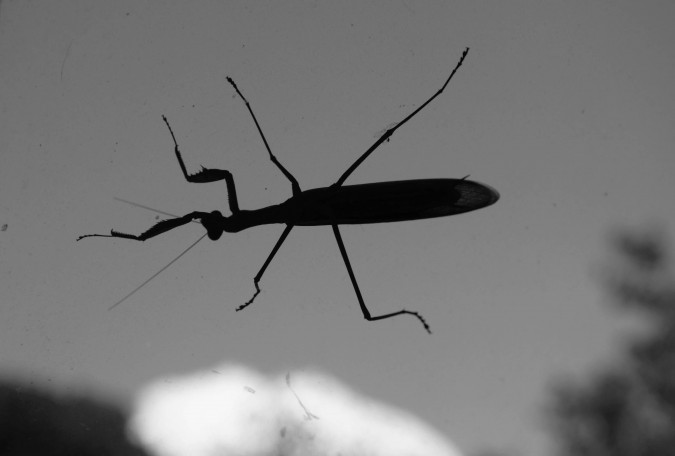 praying mantis (5)