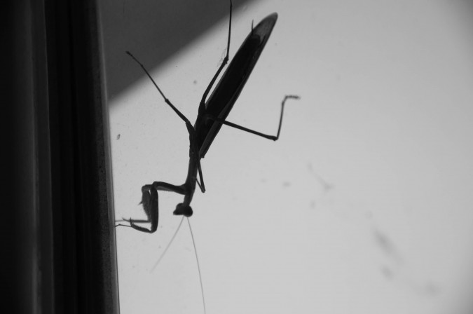 praying mantis (7)