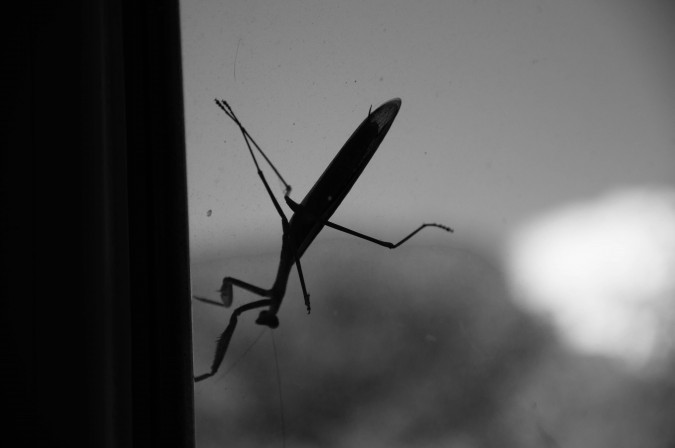 praying mantis (8)
