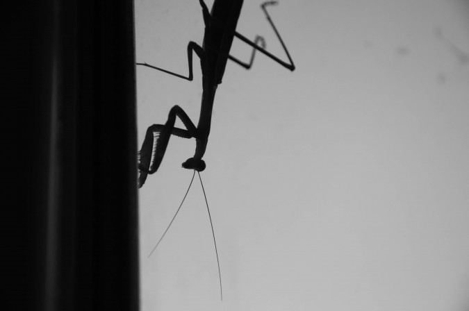 praying mantis (9)