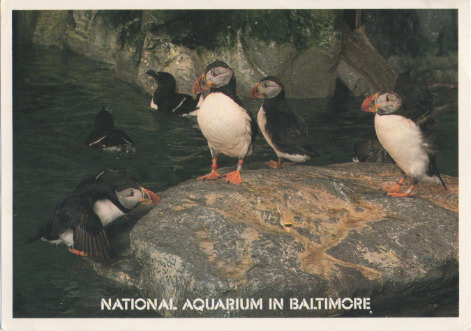 Puffins at baltimore aquarium postcard